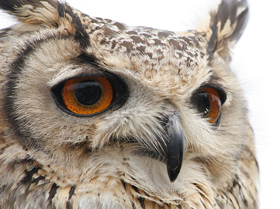 A close-up shot shows a rather superb owl looking to the right of the screen- it