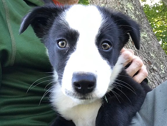 The cutest little puppy in the entire history of dogdom looks at the camera directly. The border collie puppy is white and black in the face with the most adorable widdle nose you've ever seen.